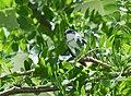 Cerulean Warbler (male) (34226087673).jpg