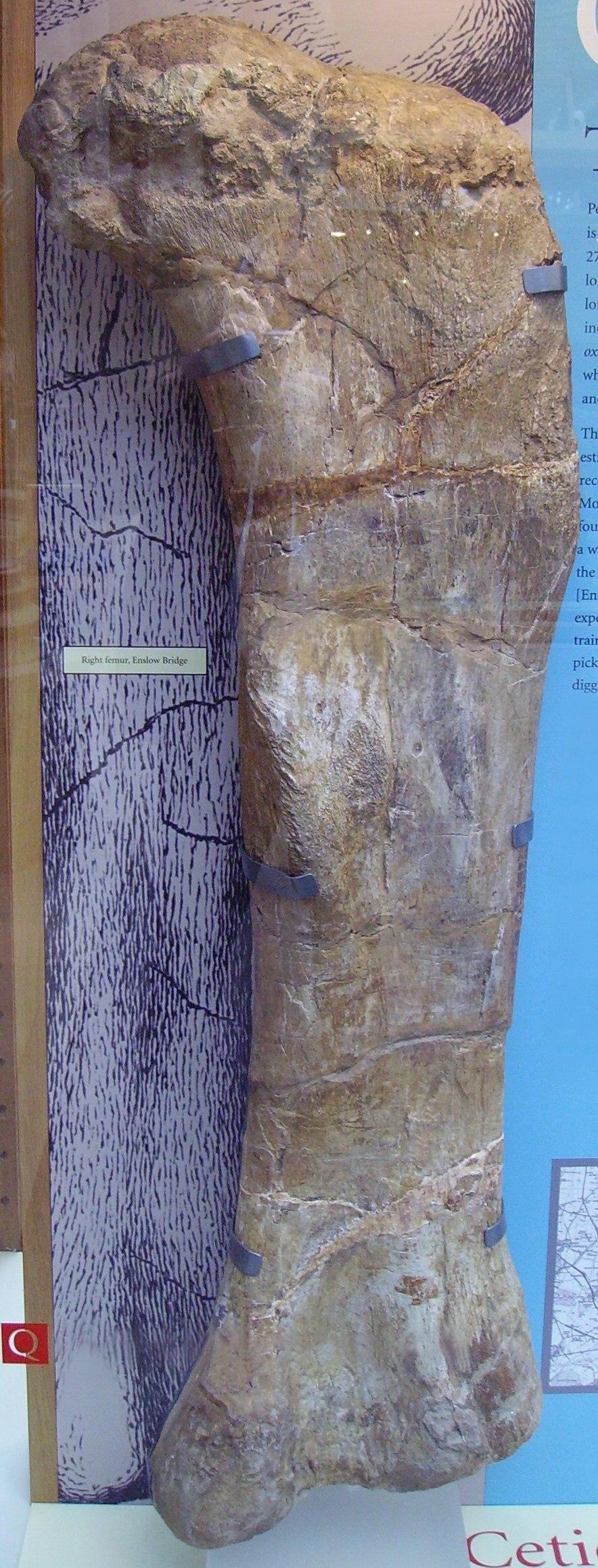 Cetiosaur right femur