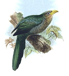 Ceuthmochares australis - Birds of South Africa - V (cropped).jpg