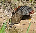 Chaco Chachalaca (Ortalis canicollis) drinking (29388018786) (cropped).jpg