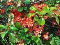 Chaenomeles japonica CC0 1.0.jpg
