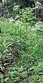 Chaerophyllum aureum1.JPG