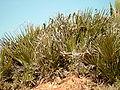 Chamaerops humilis b.jpg