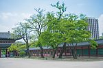 Changdeokgung Heohwanamugun Trees (창덕궁 회화나무군) - 11.jpg