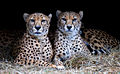 Cheetah-1a.jpg