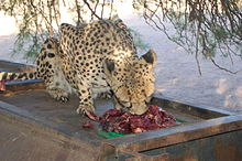 Cheetha Feeding at Farm, Namibia (3166664388).jpg