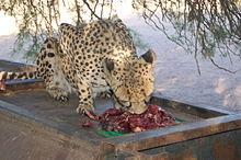 Cheetha Feeding at Farm, Namibia (3166664388).jpg