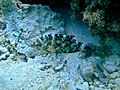 Cheilinus chlorourus.JPG
