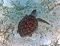 Chelonia mydas (green sea turtle) (San Salvador Island, Bahamas) 1 (15998001477).jpg