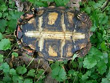 Plastron view of a young 'cherry head' or eastern variant red-footed tortoise showing the dark pattern on most of the plastron