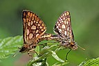 Chequered skippers (Carterocephalus palaemon) mating.jpg