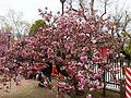 """Cherry-Blossom-Viewing through the """"Tunnel"""" at Japan Mint in 201504 020.JPG"""
