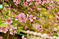 Cherry Blossom in Shatin.jpg