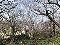 Cherry blossoms in Sasayama Park 21.jpg