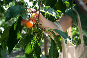 Cherry picking - Cherry picking can be found in many logical fallacies.