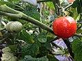 Cherry tomatoes (28277046494).jpg