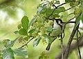 Chestnut-sided Warbler (47102040884).jpg