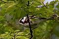 Chestnut-sided Warbler (male) Sabine Woods TX 2018-04-28 07-10-55 (42154053522).jpg