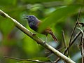 Chestnut-winged Babbler (14180946231).jpg