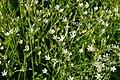 Chickweed (Stellaria sp.) - Guelph, Ontario 2020-06-07.jpg