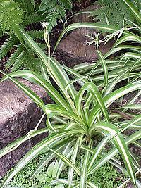 Chlorophytum comosum0