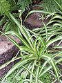 Chlorophytum comosum0.jpg
