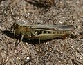 Chorthippus brunneus (Common Field Grasshopper) - Flickr - S. Rae.jpg