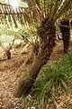 Christchurch Botanic Gardens, New Zealand section, Dicksonia fibrosa 2016-02-04.jpg