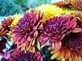 Chrysanthemum(auburn).jpg