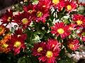 Chrysanthemum (115190677).jpeg