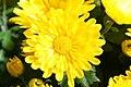 Chrysanthemum Nancy 2zz.jpg