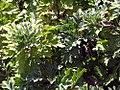Chrysanthemum indicum Single Apricot 0zz.jpg