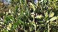 Chumbera (Opuntia ficusindica) en flor 2.jpg