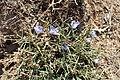 Cichorium spinosum kz01.jpg