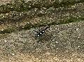 Cicindela aurulenta (36177796976).jpg