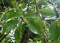 Cinnamomum glanduliferum kz1.jpg