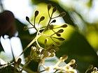 Cinnamomum verum (6674351813).jpg