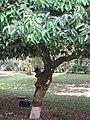 Cinnamomum zeylanicum (Cinnamon) tree in RDA, Bogra 01.jpg