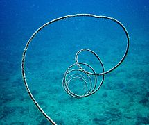 Cirrhipathes sp - coral-wire-groovy