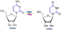 Citidine conversion to uridine.png