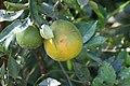 Citrus x sinensis Temple 0zz.jpg