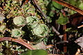 Cladonia fimbriata (15405241249).jpg