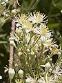 Clematis ligusticfolia9.jpg