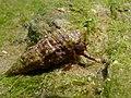 Clibanarius erythropus 2009 G2.jpg