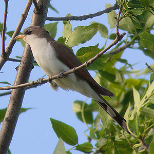 The Yellow-billed Cuckoo was named Cuculus ame...