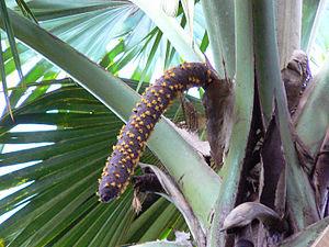 Lodoicea - Male inflorescence