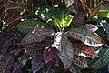 Codiaeum variegatum 15zz.jpg