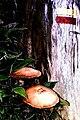 Cogumelos - panoramio.jpg