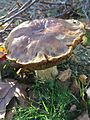 Cogumelos do Geres (22917805479).jpg