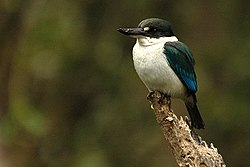 Collaredkingfisher seq.jpg
